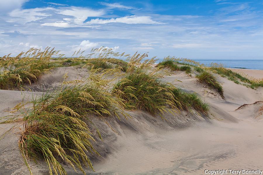 Pea Island National Wildlife Refuge, North Carolina<br /> Seaoats (Uniola paniculata) on dunes of Pea Island, Cape Hatteras