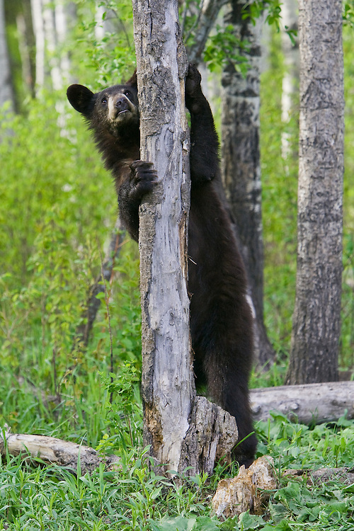 Black Bear standing and looking up a tree
