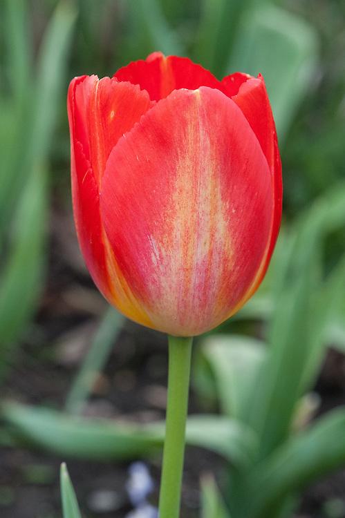 Tulip 'Tequila Sun', mid April.