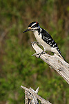 Male hairy woodpecker