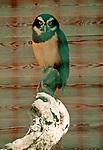 Spectacled Owl at the Locarno Bird Show, Falconry Show (Falconeria Locarno)