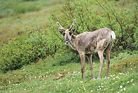 Young caribou, tundra wildflowers, Denali National Park, Alaska