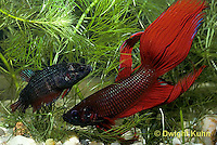 BY04-001z   Siamese Fighting Fish - male (R) courting display to female (L) - Betta splendens