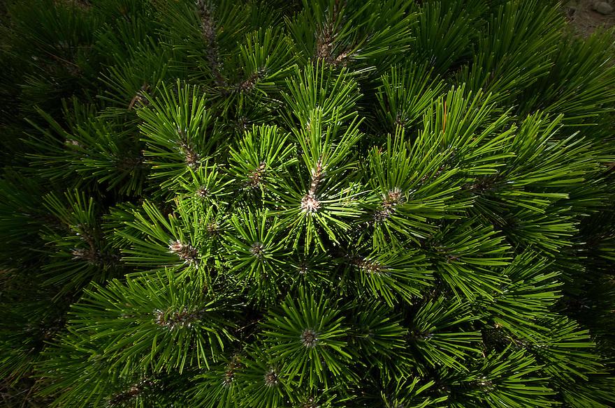 Greece, Pindos Mountains, Pindos NP, Valia Calda, Pine leafs,
