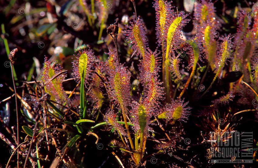 """The """"""""English"""""""" sundew, (Drosera anglica or miki nalo), an indigenous insectivorous plant found in bogs, here in Alakai swamp."""