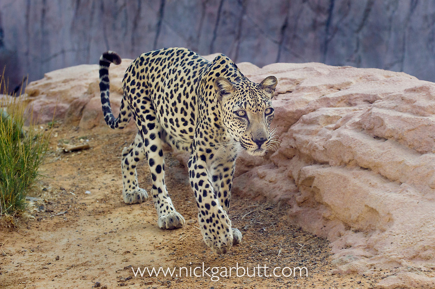 Male Arabian Leopard (Panthera pardus nimr) at the Arabian Wildlife Centre & captive-breeding project, Sharjah, United Arab Emirates. (captive)