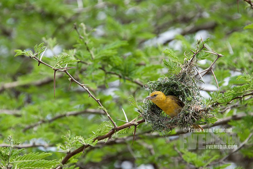 Village Weaver (Ploceus cucullatus)..In the process of building it's nest..Mkhuze Game Reserve..Kwazulu-Natal, South Africa.