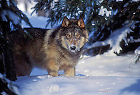 Gray wolf or timber wolf (Canis lupus). Winter. Minnesota.