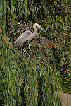 great blue heron, Ardea herodias, captive, not released