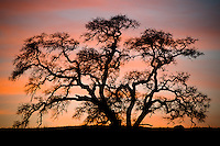 A magical black oak sunset in the California foothills of Tuolumne County