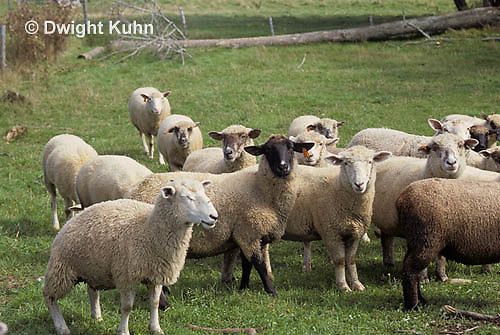 SH01-033z  Sheep- herd