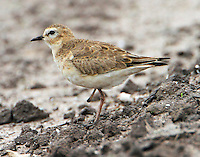 Adult mountain plover in nonbreeding plumage. Note loss of right foot.