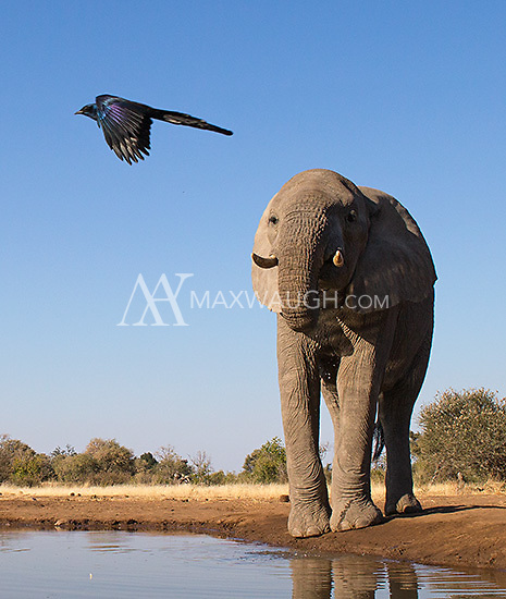 The African elephant is the world's largest land animal.