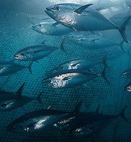 qb0908-D. Southern Bluefin Tuna (Thunnus maccoyii), in tuna farm. South Australia, Pacific Ocean..Photo Copyright © Brandon Cole. All rights reserved worldwide.  www.brandoncole.com..This photo is NOT free. It is NOT in the public domain. This photo is a Copyrighted Work, registered with the US Copyright Office. .Rights to reproduction of photograph granted only upon payment in full of agreed upon licensing fee. Any use of this photo prior to such payment is an infringement of copyright and punishable by fines up to  $150,000 USD...Brandon Cole.MARINE PHOTOGRAPHY.http://www.brandoncole.com.email: brandoncole@msn.com.4917 N. Boeing Rd..Spokane Valley, WA  99206  USA.tel: 509-535-3489