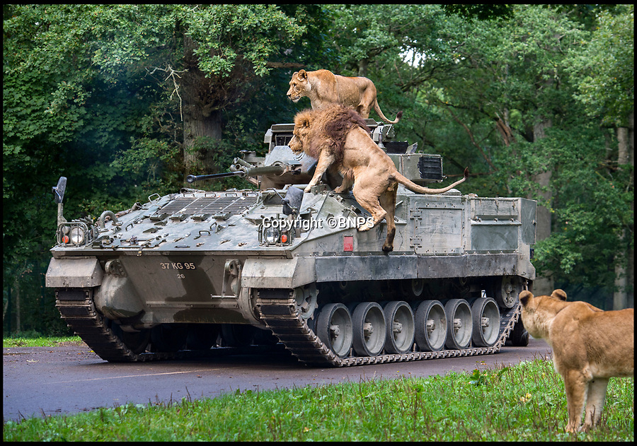 BNPS.co.uk (01202 558833)<br /> Pic: PhilYeomans/BNPS<br /> <br /> Top Cat's - Longleat's famous lion's climbed all over the 28 tonne intruder...<br /> <br /> Longleat's infamous troop of mischievous monkeys, along with the parks other wiley inhabitants, have been wreaking havoc on unsuspecting motorists for decades.<br /> <br /> But even they were a little overwhelmed when they came face to face with the might of the British Army this week.<br /> <br /> Soldiers from the 1st Battalion The Yorkshire Regiment, based in nearby Warminster, took one of their Warrior armoured vehicles through some of the Wiltshire safari park's most notorious enclosures.<br /> <br /> And despite the animals obvious interest the 27.5 tonne, six-metre-long caterpillar tracked vehicle eventually emerged without a scratch.<br /> <br /> The Army were visiting the park ahead of a new military spectacular event which is taking place on the estate later this month.