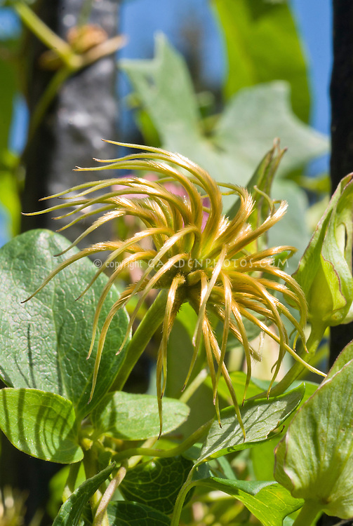 Clematis Fireworks seed heads, of pink flower