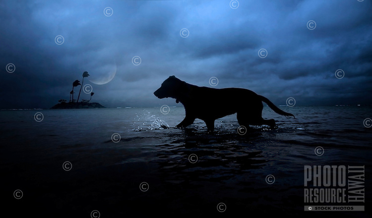 Moonlight splash: Rescue dog Isabella splashes in the ocean on a moonlit night, O'ahu.