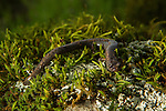 California Slender Salamander (Batrachoseps attenuatus), Bouverie Preserve, Glen Ellen, California