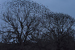 Brazoria County, Damon, Texas; a flock of Red-winged Blackbirds (Agelaius phoeniceus) flying off suddenly and all at once from the top branches of live oak trees at dusk