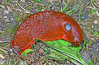 Große Wegschnecke, Rote Wegschnecke, Große Rote Wegschnecke, Große Schwarze Wegschnecke, Arion rufus, Arion ater, Arion ater ssp. rufus, large red slug, greater red slug, chocolate arion