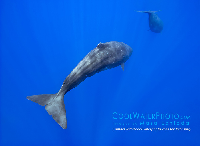 sperm whales, Physeter macrocephalus, Hawaii, USA, Pacific Ocean