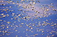 Snow Goose, Chen caerulescens, flock in flight, Bosque del Apache National Wildlife Refuge , New Mexico, USA