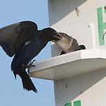 Swallows & Swifts