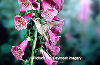 01162-063.15 Ruby-throated Hummingbird (Archilochus colubris) female on Foxglove (Digitalis sp.) Shelby Co.  IL