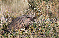 One of the more exotic mammals in this area of Patagonia is the armadillo. This was the only one we found during this trip.