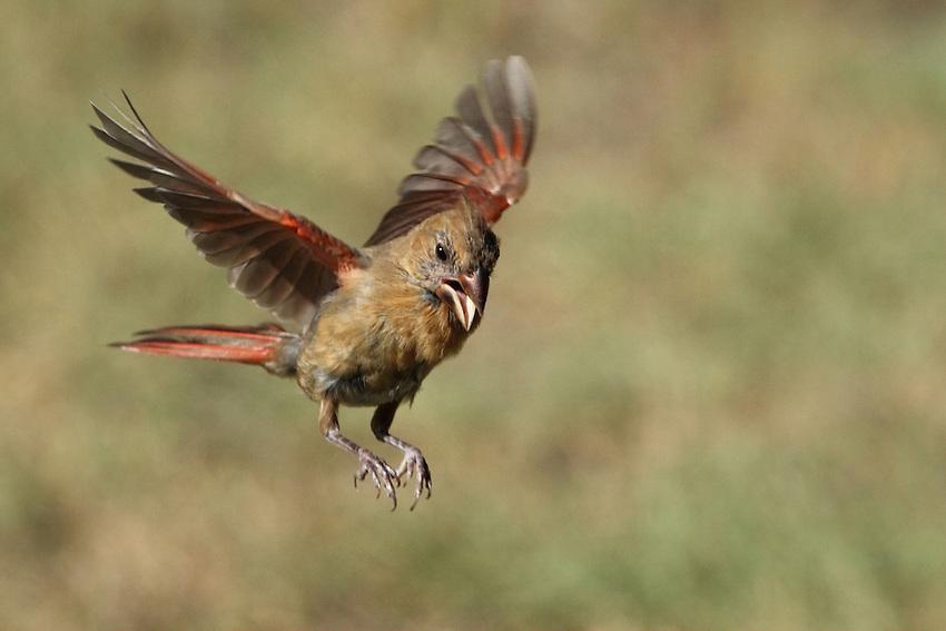 Female Cardinal in fall.