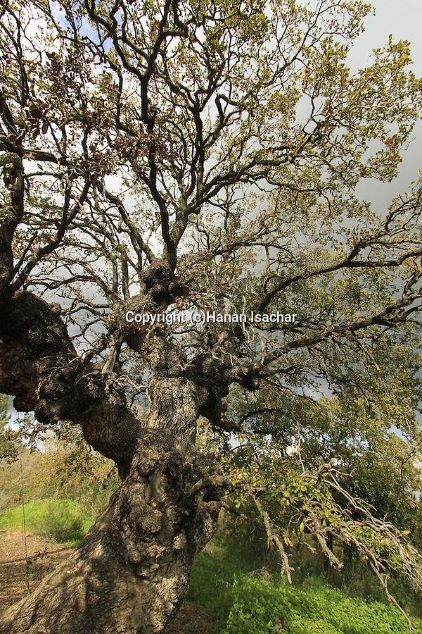 Israel, Lower Galilee, Mount Tabor Oak at Alon Tavor Field School