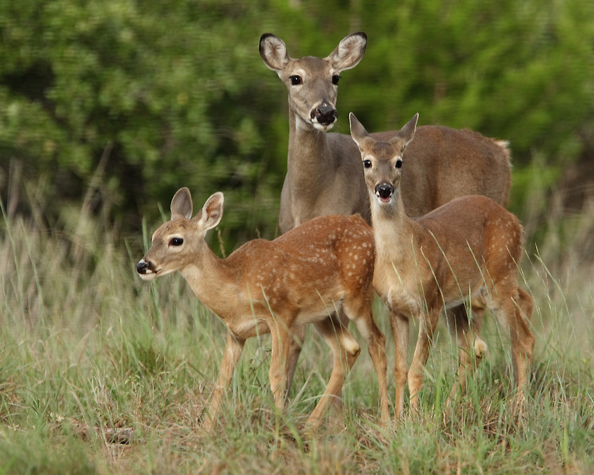 White-tailed Deer (Odocoileus virginianus) form close social bonds.