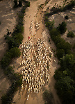Farmers lead their sheep by Nguyen Phuc Thanh