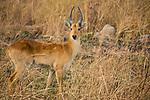 Puku (Kobus vardonii) male, Kafue National Park, Zambia