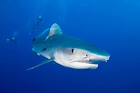 tiger shark, Galeocerdo cuvier, Protea Banks, South Africa ( Indian Ocean )