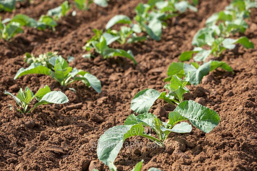 Cauliflower plant- Lincolnshire, August