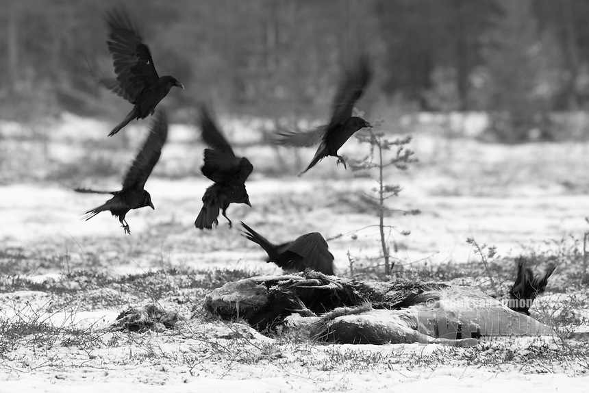 Ravens comming down on to a carcass.