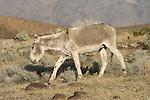 Moth-eaten jackass walks through the desert in Calif.