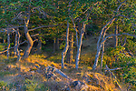 Saltspring Island, British Columbia:<br /> Dawn light on pine forest of Beaver Point, Ruckle Provincial Park