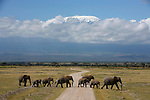 Elephants devant le Kilimandjaro depuis le parc d Amboseli au Kenya