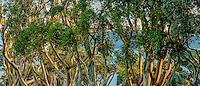 Eucalyptus Trees, San Diego, California