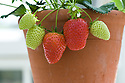Strawberry 'Elsanta' growing in a terracotta container inside a glasshouse, late April.