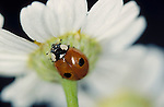 2 Spot Ladybird, Adalia bipunctata, red with black spots, on underside of daisy, face, mandibles, two.United Kingdom....