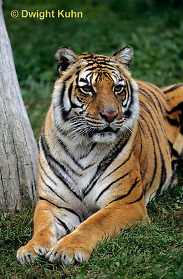 MA40-005a  Bengal Tiger - Panthera tigris
