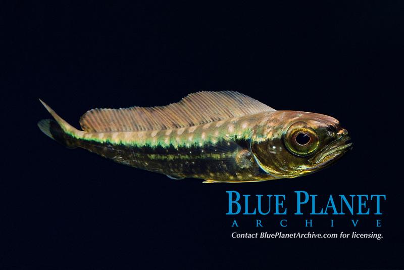 juvenile dorado, mahimahi, mahi-mahi, dolphinfish, or dolphin-fish, Coryphaena hippurus, about 10 cm (4 inches) long, Kona Coast, Big Island, Hawaii, USA, Pacific Ocean (c, dm)