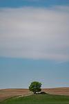 Lone tree in a field, Saskatchewan