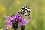Marbled White Butterfly, Melanargia galathea, nectaring on thistle flower, with red tick on body, The Larches, Kent Wildlife Trust, UK