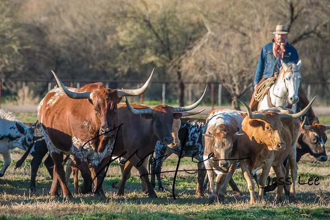 Cowboy herding longhorn cattle in Arizona. Cowboys and Cowgirls working and Playing in Arizona. Arizona Cowboys