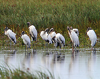 Group of wood storks preening