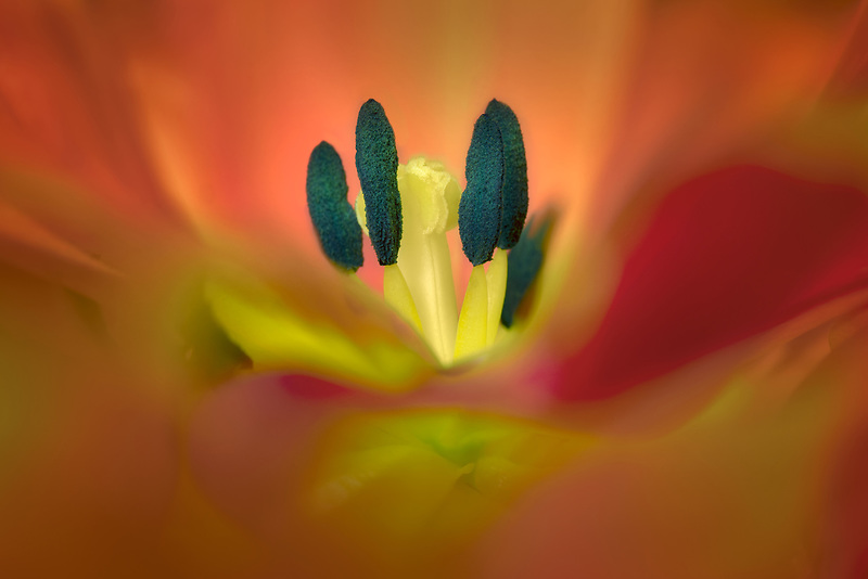 Clase up of tulip flower.